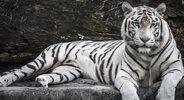 Tigre blanco.jpg