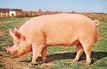 Yorkshire-boar.jpg