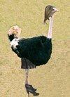 avestruz.jpg