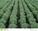 plantas-de-la-margarita-en-filas-en-un-invernadero-holands-38607859.jpg