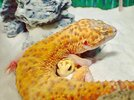 cute-happy-gecko-with-toy-kohaku-16-591e9c5a1148f__700.jpg