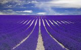 purple-lavender-field-provence-france-800x500.jpg
